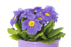 Primrose in flower pot. Isolated on white royalty free stock photography