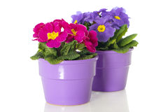 Primrose in flower pot. Isolated on white royalty free stock image