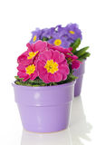 Primrose in flower pot. Isolated on white stock image