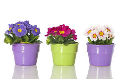 Primrose in flower pot. Isolated on white royalty free stock images