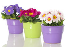 Primrose in flower pot. Isolated on white stock photo
