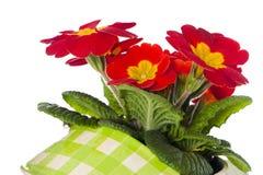 Primrose in flower pot Stock Images