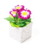 Primrose in flower pot holder Stock Images