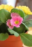 Primrose flower in pot Stock Photos