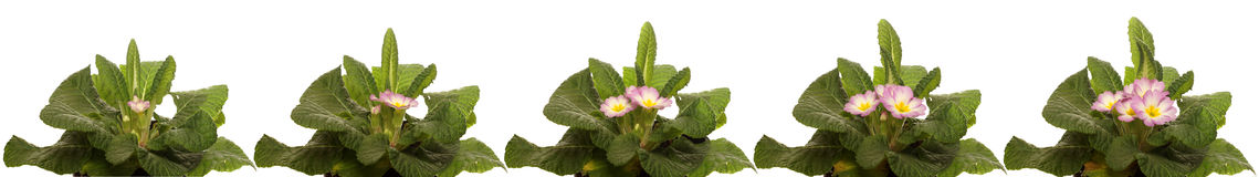 Primrose Flower Series. Time lapse series of primrose flowers blooming Stock Images