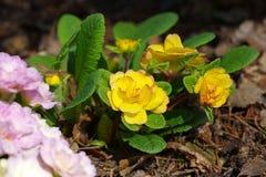 Primrose flower in spring Stock Image
