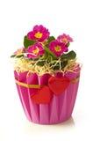 Primrose flowerpot Royalty Free Stock Images