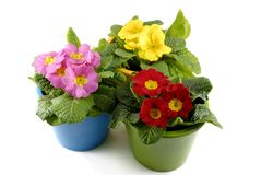 Primrose flowers Stock Photos