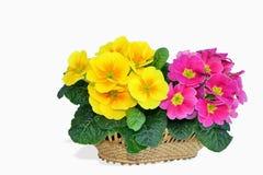 Primrose flowers in a basket. Spring Primrose - Primula flowers in a basket isolated on white background royalty free stock photos
