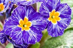 Primrose flowers with blue stripes Stock Image