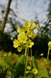 Primrose flowers Royalty Free Stock Images