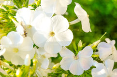 Primrose flowers in the garden. White primrose flowers with greenery Royalty Free Stock Photography