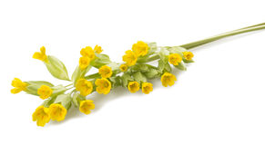 Primrose flowers royalty free stock photo