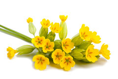 Primrose flowers Stock Image