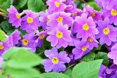 Primrose flowers Stock Images