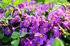 Primrose flowers Royalty Free Stock Photography