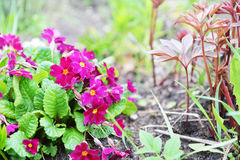 Primrose flowers Royalty Free Stock Images