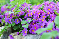 Primrose flowers Stock Images