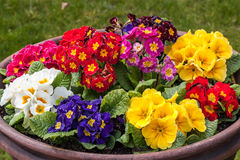 Primrose flowers Royalty Free Stock Photography
