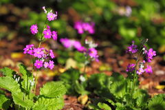 Primrose flower purple Royalty Free Stock Photo
