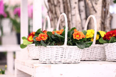 Primrose flowers in white wicker basket Stock Photography