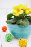 Primrose  flowers Stock Photography