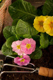 Primrose and garden utensil Stock Photos