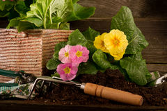 Primrose and garden utensil Royalty Free Stock Photo