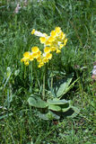 Primrose in grass Stock Photography