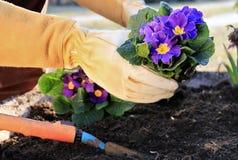 Free Primrose In A Garden Pot Stock Photos - 23805883