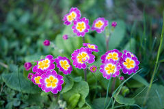 Free Primrose In The Forrest Stock Photo - 13646220