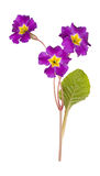 Primrose isolated on white Royalty Free Stock Images