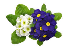 Primrose Stock Photos