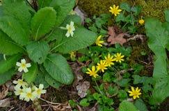 Primrose and Lesser Celandine on woodland floor Stock Photo