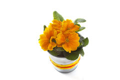 Primrose living Royalty Free Stock Images