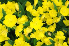 Primrose oenothera frutcosa Royalty Free Stock Image