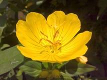 Primrose Oenothera Pilosella στοκ εικόνες