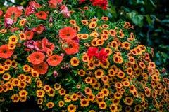Primrose and petunia flowers Royalty Free Stock Image