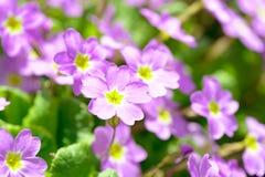 Primrose pink flowers (Primula Vulgaris). Pink primroses. Primula flowers growing in the field Stock Image