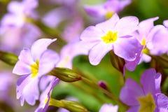 Primrose pink flowers (Primula Vulgaris). Pink primroses. Primula flowers growing in the field Royalty Free Stock Image