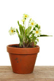 Primrose plant Royalty Free Stock Photo