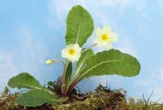 Primrose plant Royalty Free Stock Image