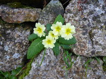 Primrose plant in stone wall Stock Images