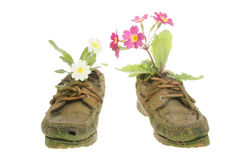 Primrose plants in shoes Stock Images