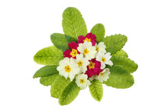 Primrose posy. A posy of primrose flowers and leaves isolated against white Stock Photo