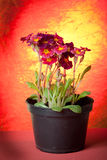 Primrose in Pot. Potted primrose in Pot in red background royalty free stock image