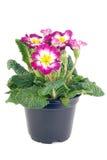 Primrose pot. Tricolor hybrid primrose in plastic black pot royalty free stock images
