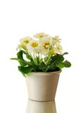 Primrose in pot Royalty Free Stock Images