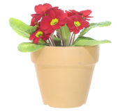 Primrose in the pot Royalty Free Stock Photo