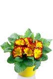 Primrose in pot Stock Photo